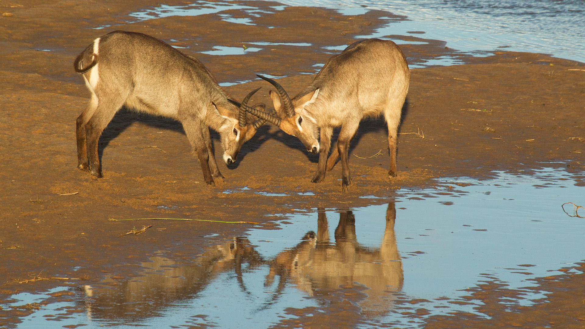 Waterbuck reflections